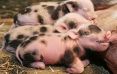 Beacon Hill Children's Farm pig Jellybean gave birth to eight piglets Monday, six girls and two boys. Photograph by: ADRIAN LAM, Times Colonist