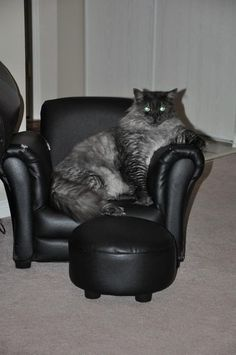 maine coon http://www.mainecoonguide.com/where-to-find-maine-coon-kittens-for-sale/