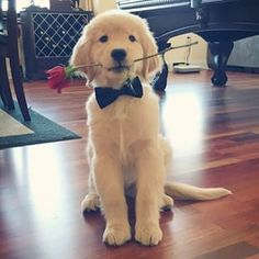 Happy Valentine's Day everyone! And for all you ladies out there I'm still single ? Baby Puppies, Baby Dogs, Cute Puppies, Pet Dogs, Dogs And Puppies, Doggies, Puppy Proposal, Prom Proposal, Proposal Ideas