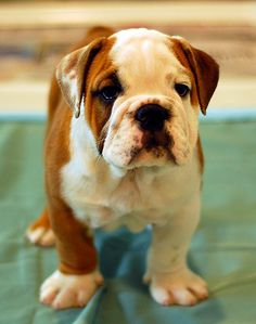 Can't wait to get a lil' guy like this... I've been wantin' a bulldog pup for AGES!