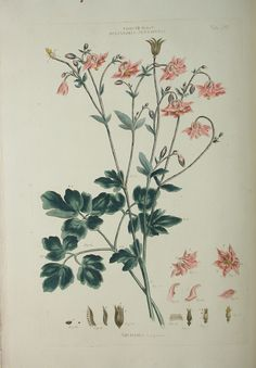 Aquilegia vulgaris pink illustration - circa 18th century