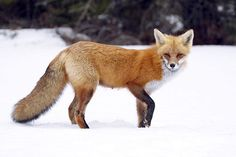 Sierra Nevada Red Fox. There are only about 50 of these rare mountain foxes left in California and Oregon. Livestock grazing, logging, and other activities have altered the forest, mountain meadow, and shrub land habitats the fox calls home. Trapping and poisoning have also slashed the animal's numbers. As with the Alexander Archipelago wolf, the federal government is supposed to decide in 2015 whether to protect the Sierra Nevada red fox under the Endangered Species Act.