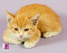 Racer  is a 2 month 8 days old, domestic shorthaired kitten. Racer is a sweet boy who loves to play with his siblings and climbing on cat trees. If interested in Racer, please email adoptions@allfurloveanimalsociety.org.