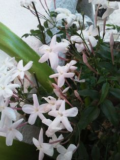 Flores de jazmín Gardenias, Magnolias, Trees, Gardens, Plants, Flowers, Magnolia Trees, Tree Structure, Wood