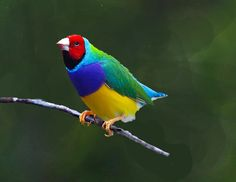 Image detail for -GOULDIAN FINCH by LarrysArtGallery on Etsy