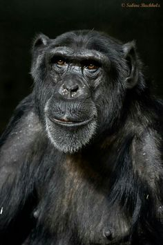 """""""CHIMPFACE.    Every chimpanzee has a unique character and temperament, just like humans, and Vizuri, an adult male at Amsterdam Zoo (Artis), has a face that is hard to forget. Photo by Sabine Buchholz."""" From """"Frans de Waal - Public Page"""" Facebook page."""