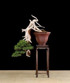 Juniper Bonsai Gallery Artist: Matteo Caldiero  Needle Juniper (Juniperus rigida)
