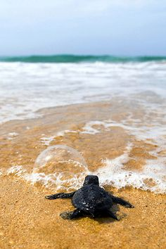 .Look at this sweet little turtle going to sea!