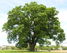 oak tree - Yahoo Image Search Results