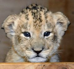 """""""Hi.""""  Keepers Step In To Raise Maryland Zoo's First-ever Lion Cubs"""