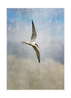 Tern bird photo - Tern in flight - bird mounted print - uk wildlife print - tern - 14 x 11 inch mounted print - nature photograph by RMDoltonPhotography on Etsy