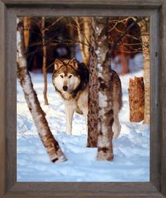 This beautiful piece of framed art will help to add color and life to your space! This framed poster depicts the image of grey wolf standing in a snow field will add wildlife nature charm into your home. It would be a perfect gift for any wild animal lover. Its barn wood frame accentuates the poster mild tone. The frame is made from solid wood measuring 20x24 inches with a smooth gesso finish. This framed poster includes a wire hanger on the back for easy display.