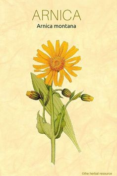 Learn about the benefits of the medicinal herb Arnica! The Herbal Resource #theherbalresource #herbs #herbal #remedies #arnica