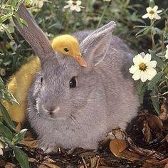 Unusual friendship between rabbit and duck - bijzondere vriendschap tussen een konijn en een jong eendje