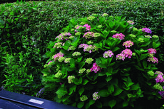 Urban Garden Design Pruning Hydrangeas - FineGardening - Knowing if your shrub blooms on old or new wood will help you make timely cuts Hydrangea Tree, Hydrangea Not Blooming, Hydrangea Garden, Garden Shrubs, Garden Plants, Hydrangea Shrub, Flower Gardening, Vegetable Gardening, Gardening Tips