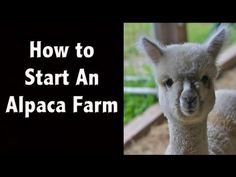 How to Start an Alpaca Farm - Spring Pond Farm - YouTube
