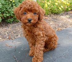 Toy Poodle Breed - Puppies By Design Online Teacup Poodle Puppies, Tea Cup Poodle, Cavapoo Puppies, Cockapoo, Cute Dogs Breeds, Cute Dogs And Puppies, Puppy Breeds, Pet Dogs, Doggies