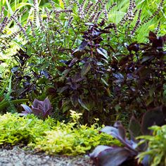 Basil + thyme    Basil and thyme grow great together. 'Golden Lemon' thyme (Thymus x citriodorus), a low-growing thyme with bright gold leaves, edges 'Red Rubin' and 'Siam Queen' basil.