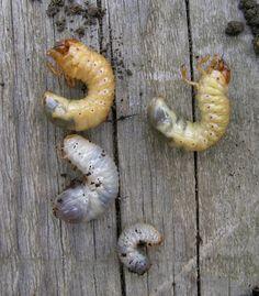Importante conocer la diferencia, muchas veces vienen en el estiercol o el compost que traemos a nuestras casas. Larves hanneton-cétoine - Cétoine dorée — Wikipédia