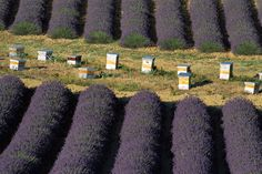 Lavender and beehives - this is cool