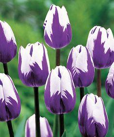 Tulip Blueberry Ripple Bulb - Set of 12 by Michigan Bulb Company #zulily #zulilyfinds