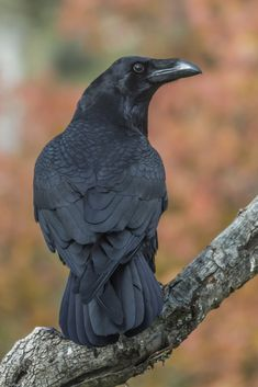 Crow, (Corvus)