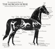 """American Morgan Horse Association ((This is my favorite breed.  I love the old style Morgan and was so fortunate to own my """"Jewel"""".  She was the sweetest mare and I lost her way too soon.  I carry her heart.))"""