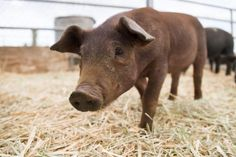 Animal Totem Photos: Pig Totem