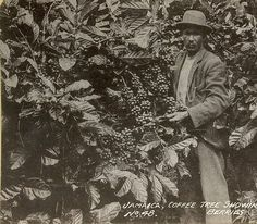 Coffee Tree Showing Berries, Jamaica | Item: 1-409 Title: Co… | Flickr