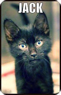 ★12/24/15 AREALLY GOOD CAT OVERLOOKED!! ★McKinney, TX - Domestic Shorthair. Meet Jack, a kitten for adoption. http://www.adoptapet.com/pet/11437472-mckinney-texas-kitten
