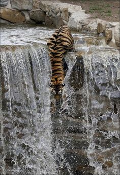 Tiger Dives From Waterfall - In the searing heat, this tiger was looking for a novel way to cool off as it endured the rising temperature.The graceful but deadly cat first surveys the drop below before using her huge paws to launched herself into the water.However, this is no tropical waterfall in the depths of the Indian jungle. Sayan is an endangered Amur Siberian Tiger and is a new arrival at Yorkshire Wildlife Park – and staff say she is proving to be quite the water baby in the heat.