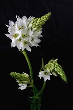 Ornithogalum dubium, common names sun star or star of Bethlehem - Still Life Photography Real Flowers, Wild Flowers, Beautiful Flowers, Enchanted Flowers, Beautiful Love Pictures, Gerbera Flower, Digital Art Photography, Bugs And Insects, Fine Art America