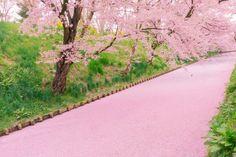 Hirosaki-shi, aomori-ken, Japanで撮影された弘前公園外堀の写真 Floral raft(花筏) : パシャデリック