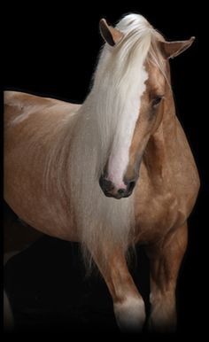 Our Stallions: Tintagel Andalusian Horses: Breeding, Performance Training, Holistic Treatment