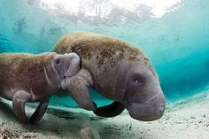 The dugong (/ˈdjuːɡɒŋ/; Dugong dugon) is a medium-sized marine mammal. It is one of four living species of the order Sirenia, which also includes three species of manatees. World Wetlands Day, Scuba Diving Magazine, Florida Bay, Sea Cow, Best Scuba Diving, Delphine, Marine Life, Sea Creatures, Strange Creatures