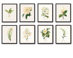 Redoute White Botanical Print Set No. 8 - Canvas Art Prints – BelleBotanica