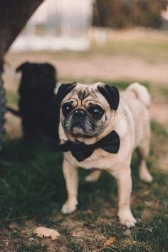 A Sweet Rustic Glenorchy Wedding by Dawn Thomson Photography Pug Wedding, Dog Wedding Outfits, Pug Cross, Cute Pugs, Dog Agility, Dog Costumes, Pug Love, Dog Photos, Animal Photography