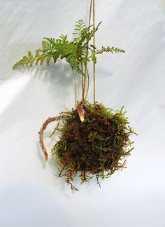 Kokedama   Kokedama rabbit fern florapacifica.com