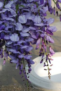 wisteria for tall centerpieces with orchids and maidenfern Wisteria Plant, Purple Wisteria, Flowers Nature, Beautiful Flowers, Shades Of Purple, Purple Haze, Lilac, Plant Design, Garden Design