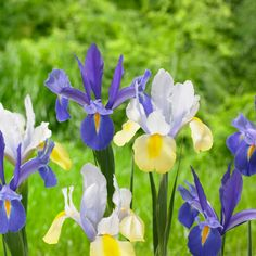 Learn how to force spring bulbs indoors and get tips, tricks and instructions for growing a beautiful bulb garden in your home this winter from HGTV Gardens. Crocus Plants, Crocus Bulbs, Spring Flowering Bulbs, Spring Bulbs, Iris Flowers, Spring Flowers, Carnation Flower Meaning, Planting Tulips, Flower Gardening