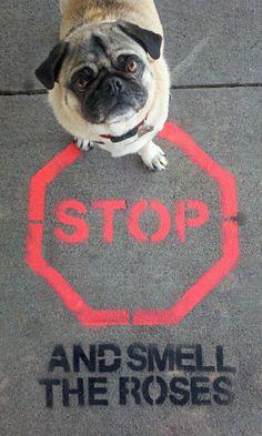 STOP and hug this pug :)