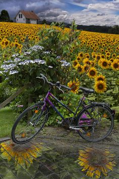 Summer cycling by the sunflowers...