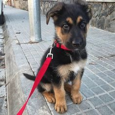 "See our internet site for more information on ""german shepherd puppy"". It is actually an exceptional area to find out more. German Shepherd Memes, German Shepherd Pictures, Cute German Shepherd Puppies, German Shepherds, Pet Shop, Funny Dogs, Cute Dogs, Gsd Puppies, Gsd Dog"