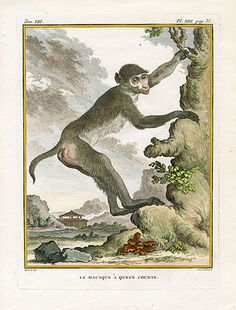 """ Short-tail Macaque "",1766. Copper engraving, Antique Hand Colored Print, Buffon Natural History. Measures 10 x 8 inches. 27 x 22 cm."