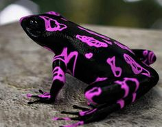 """This is a Costa Rican Variable Harlequin Toad that can illustrate the """"footprint"""""""