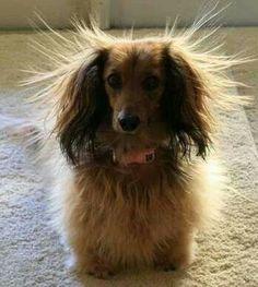 Got static? via Dream Dachshund Rescue