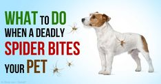 A black widow spider bite can trigger muscle spasms and paralysis to your pet if anti-venom treatment isn't given quickly. http://healthypets.mercola.com/sites/healthypets/archive/2015/06/21/black-widow-spider-bite.aspx