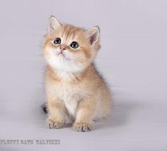 female bri ny 11 Fluffy cats` Talvikki 1 months 10 days