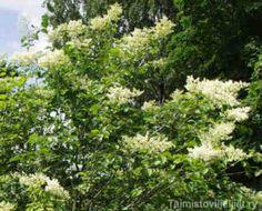 Syringa reticulata LIGUSTERISYREENI  Monin tavoin muista syreeneistä poikkeava likusterisyreeni kehittyy helposti puumaiseksi ja jopa kuusi metriä korkeaksi. Oksat ovat tukevat. Laji menestyy Oulun korkeudella asti. Pensas kukkii heinäkuussa viimeisenä syreeneistä ja kermanvalkoiset kukat tuoksuvat hunajalle.  Lehdistö: Tummanvihreä, kiiltävä, terve. Kukinta: Heinäkuussa. Kermanvalkoiset, jopa 30 cm leveät kukinnot. Kukinto kellastuu kuihtuessaan ja pysyy koristeellisena pitkään vielä…