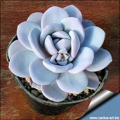 Echeveria lauii - a mysterious color